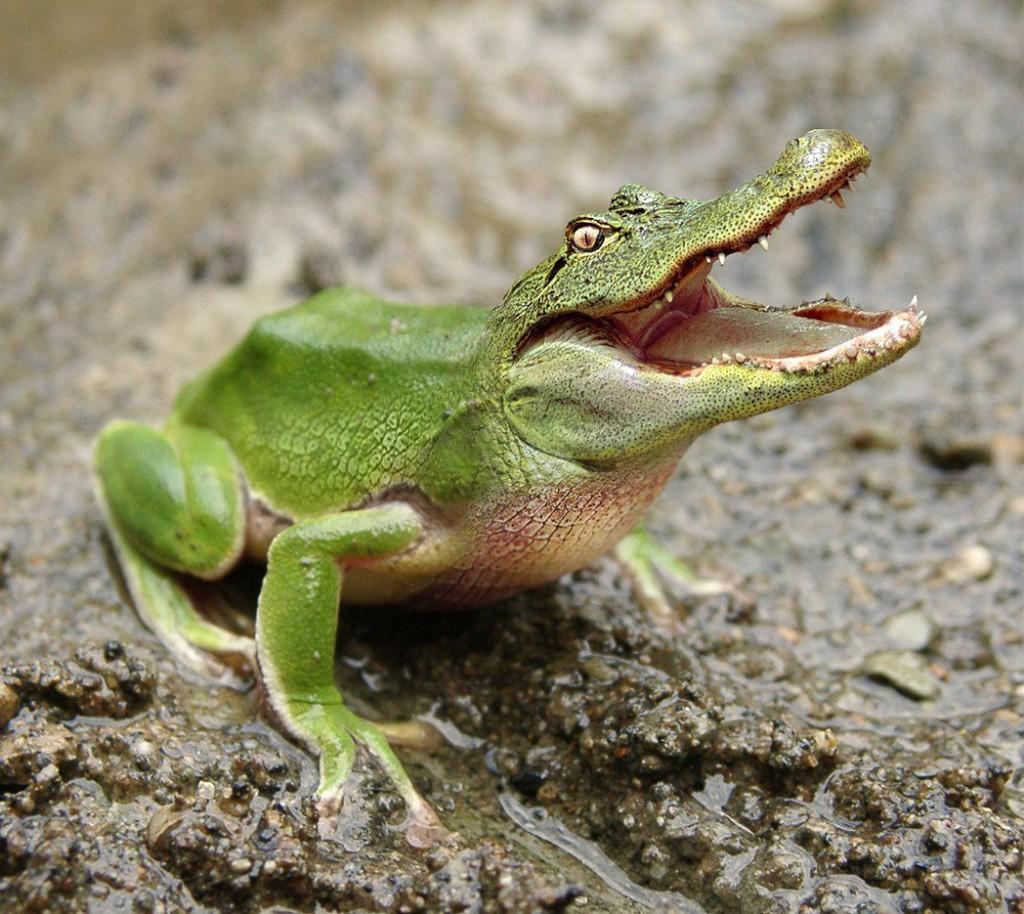 frosch krokodil Face Swap Tiere