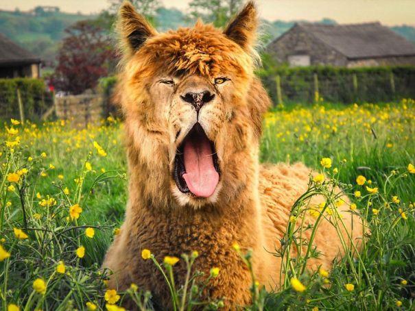 lama löwe Face Swap Tiere