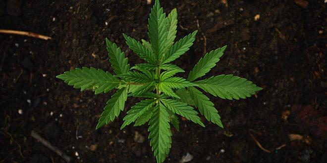 Legalisierung von Cannabis in Deutschland - Rückt sie näher?